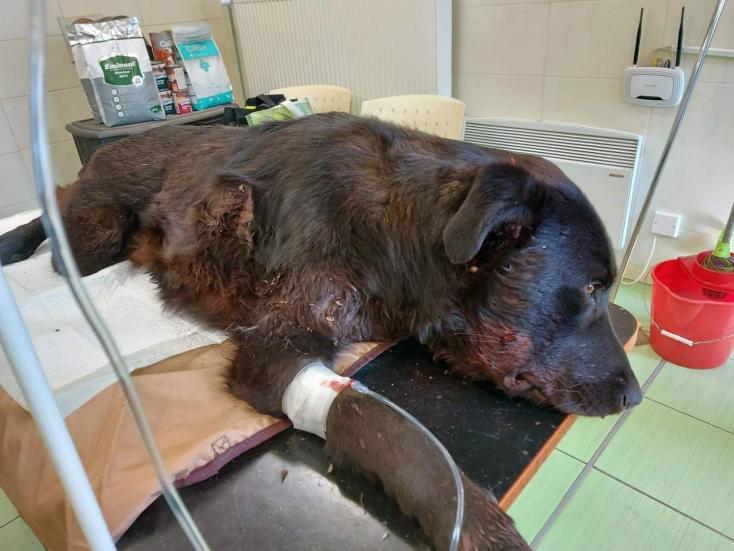 SZÖRNYŰ: Élő célpontként használtakkét kutyát Csilizpatas közelében,a szuka nem élte túl a történteket