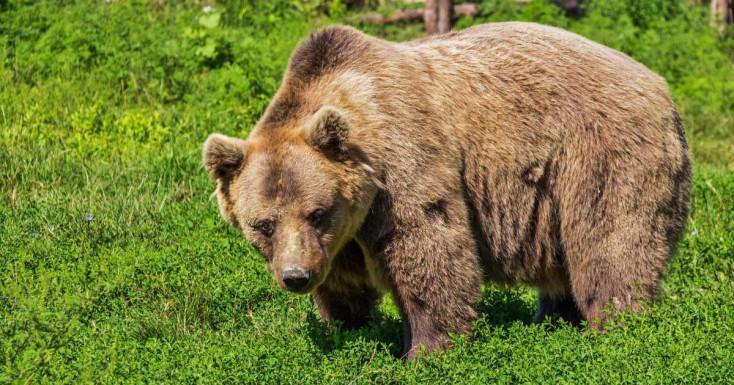 Rokonával sétált a férfi, amikor rátámadott egy medve – a község lakói veszélyben érzik magukat