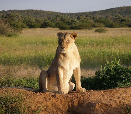Rátámadt gazdájára a háziállatként tartott oroszlán