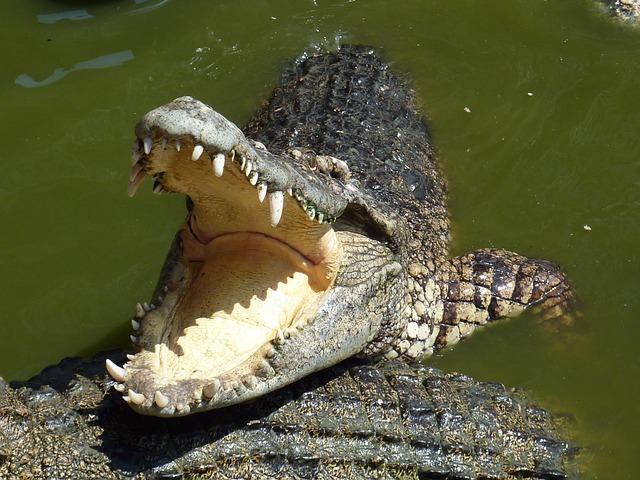 Krokodil végzett egy férfival rákhalászat közben