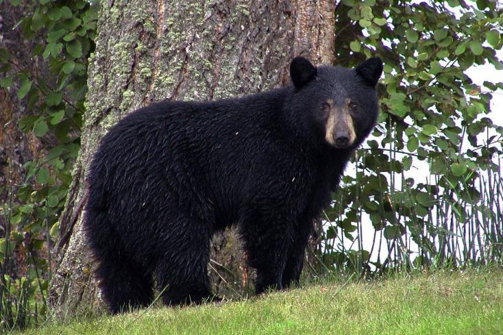 Feketemedve ölt meg egy nőt az Egyesült Államokban