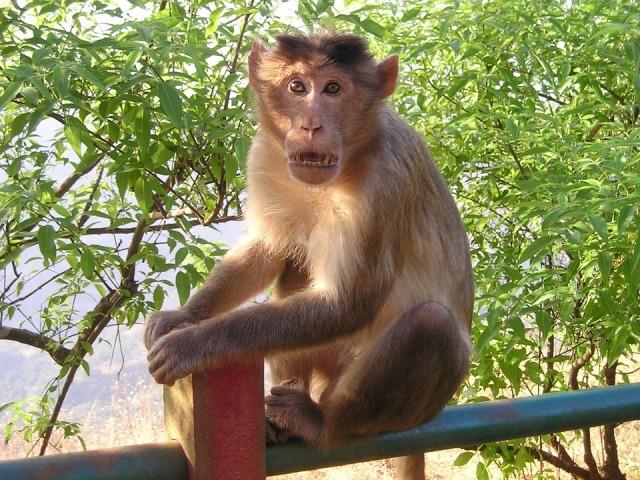 Elrabolta, majd megölte a majom a csecsemőt
