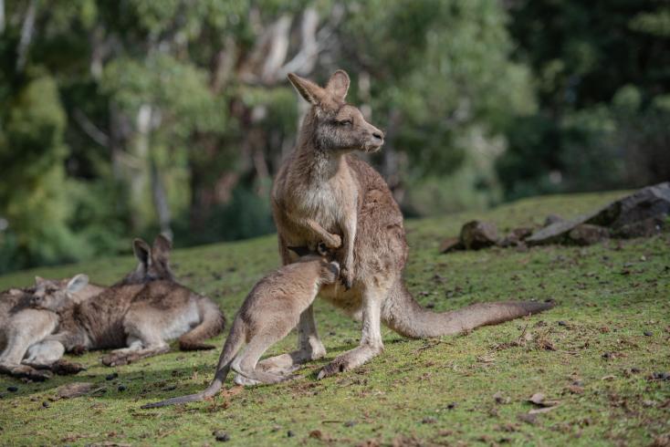 DURVA: Tucatnyi kenguruval végezhetett két tinédzser