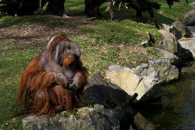 Légpuskával és késsel végeztek ki egy orángutánt