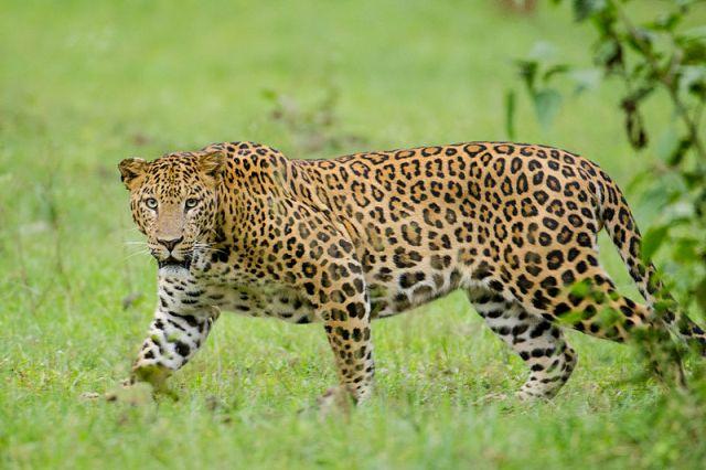 Élve akarják elfogni a kétszeres gyerekgyilkos leopárdot