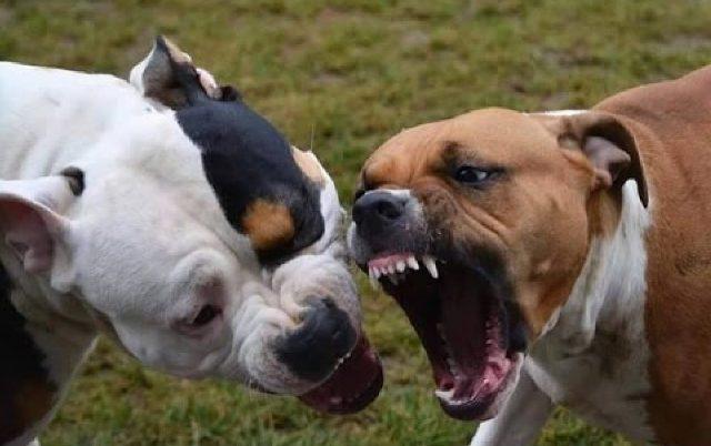 Megölt két embert egy harci kutya