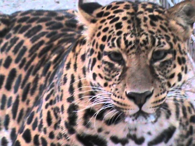 Gyilkos leopárd után kutatnak