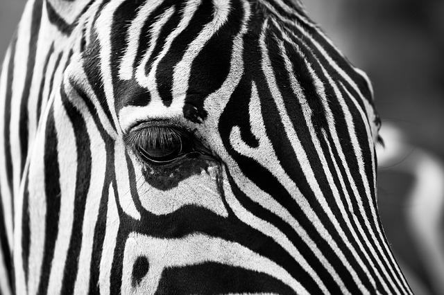 Lelőttek egy szökött cirkuszi zebrát, amely balesetet okozott az autópályán